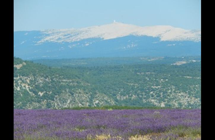 Lavender field and the Mt. Ventoux